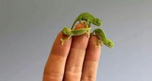 カメレオン 指