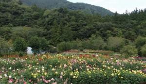 小鹿野ダリア園 (7)