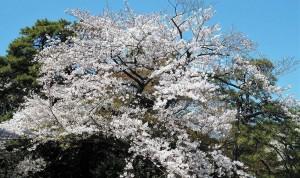 2019-04-04 皇居 通り抜け (17)