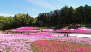 2021-04-22 芝桜の丘 羊山公園 (6)